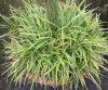 Gartenforum_Carex morrowii_08_2019-10.jpg