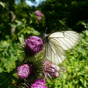 07 12 Distel mit Schmetterling